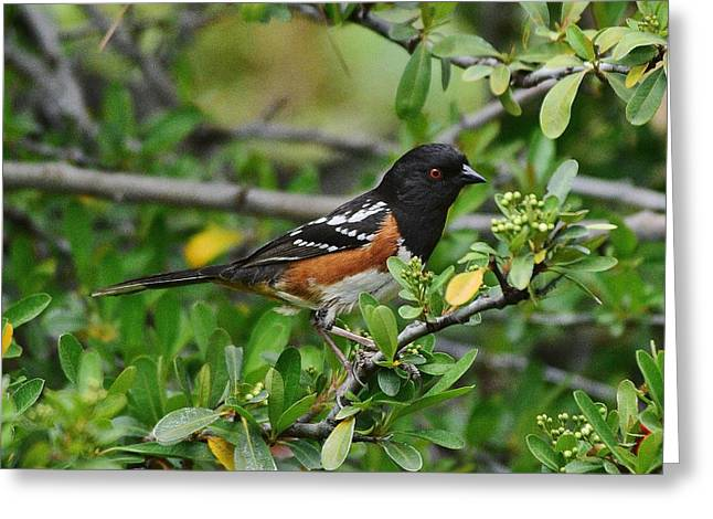 Rufous Sided Towhee 2 Greeting Card by Linda Brody