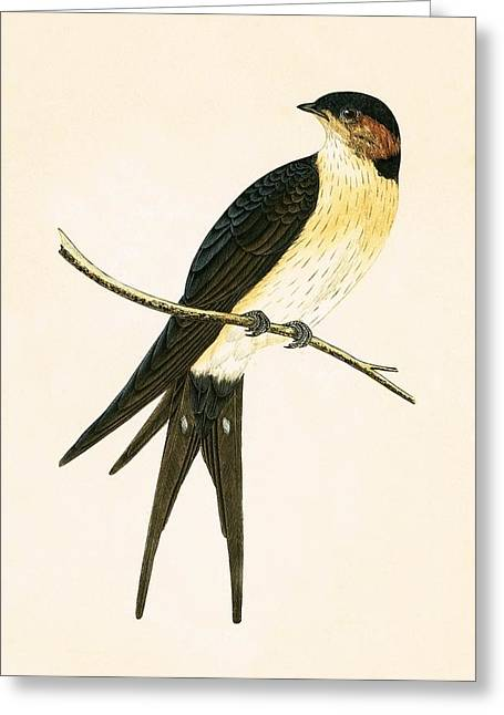 Rufous Swallow Greeting Card by English School