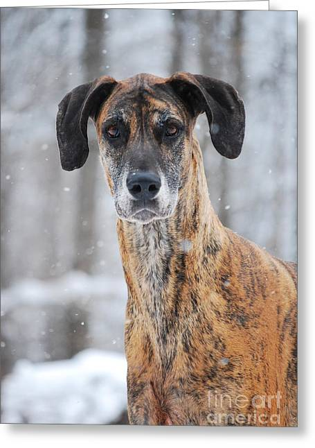 Rufus Dagoofus Great Dane Greeting Card by Lila Fisher-Wenzel