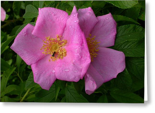 Rugosa Rose Greeting Card by Raju Alagawadi