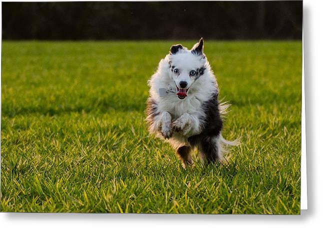 Running Australian Shepherd Greeting Card by Daniel Precht