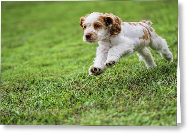 Running Cocker Spaniel Puppy Greeting Card by Dan Sproul