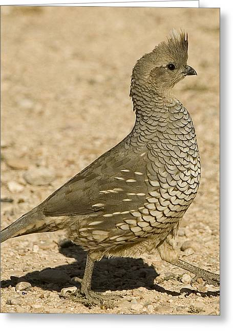 Running Quail Greeting Card by Clyde Replogle