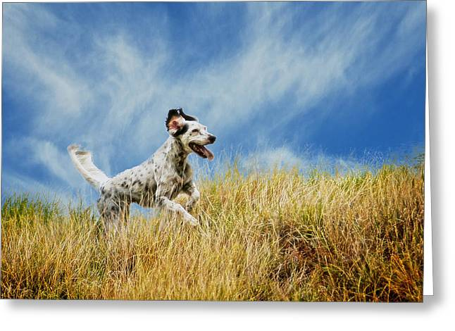 Running The Field, English Setter Greeting Card by Flying Z Photography By Zayne Diamond
