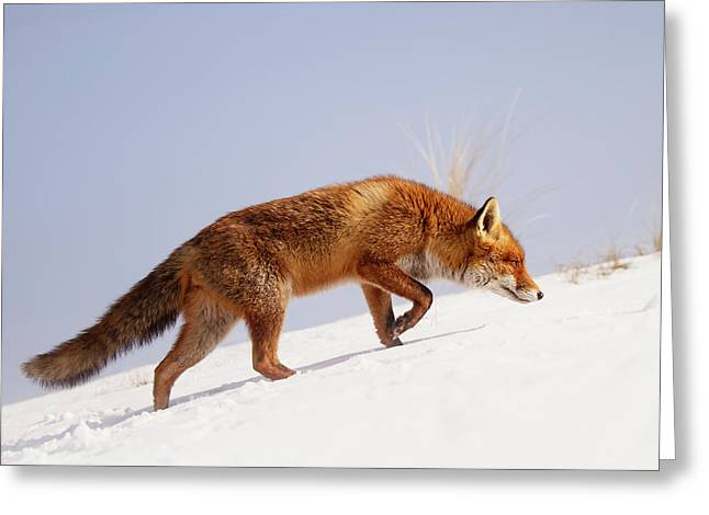 Running Up That Hill -red Fox In The Snow Greeting Card