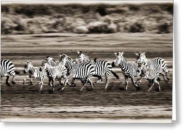 Acceleration Greeting Cards - Running Zebras, Serengeti National Greeting Card by Carson Ganci