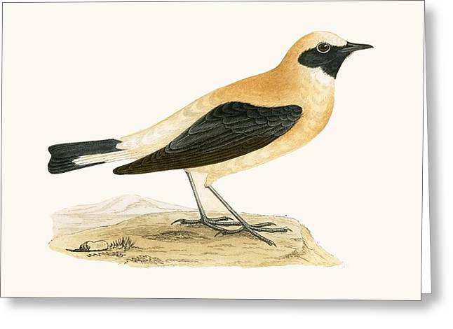 Russet Wheatear Greeting Card
