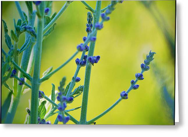 Greeting Card featuring the photograph Russian Sage by Douglas MooreZart