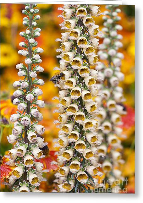 Rusty Foxgloves Greeting Card