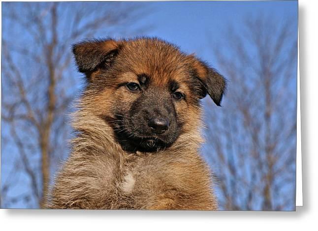Sable German Shepherd Puppy II Greeting Card by Sandy Keeton