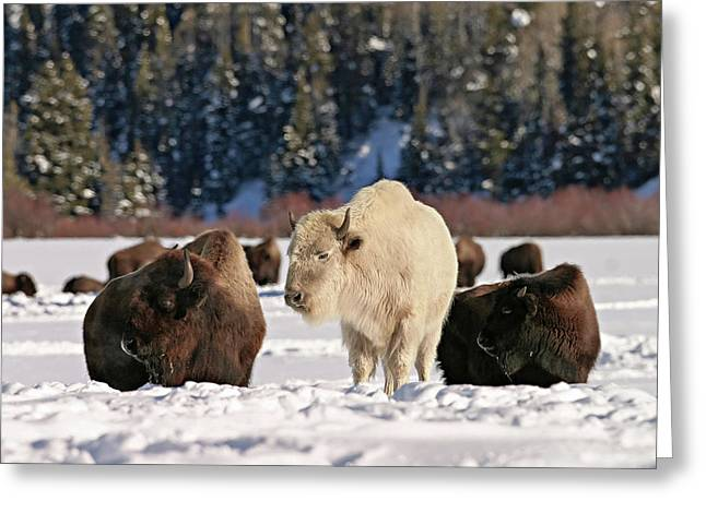Sacred Bison Greeting Card
