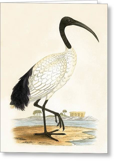 Sacred Ibis Greeting Card by English School