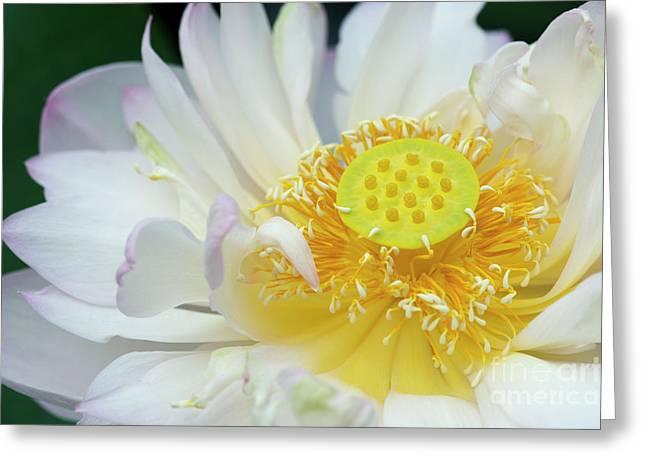 Sacred Lotus Flower Greeting Card