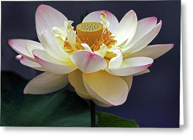 Sacred Lotus Greeting Card by Jessica Jenney