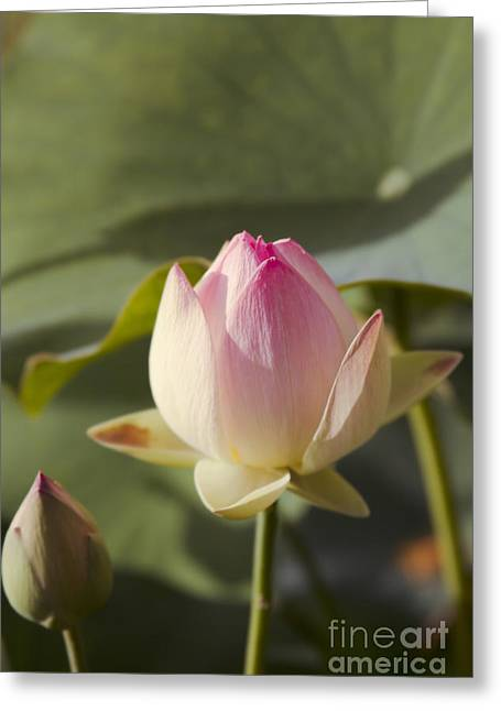 Sacred Lotus - Nelumbo Greeting Card by Sharon Mau