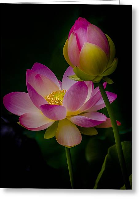 Sacred Water Lily 4 Greeting Card