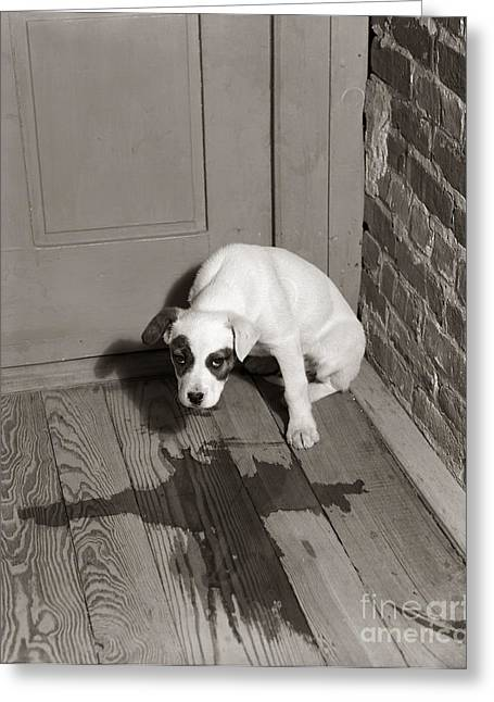 Sad Puppy Being House Trained, C.1950s Greeting Card