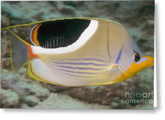 Saddleback Butterflyfish Greeting Card