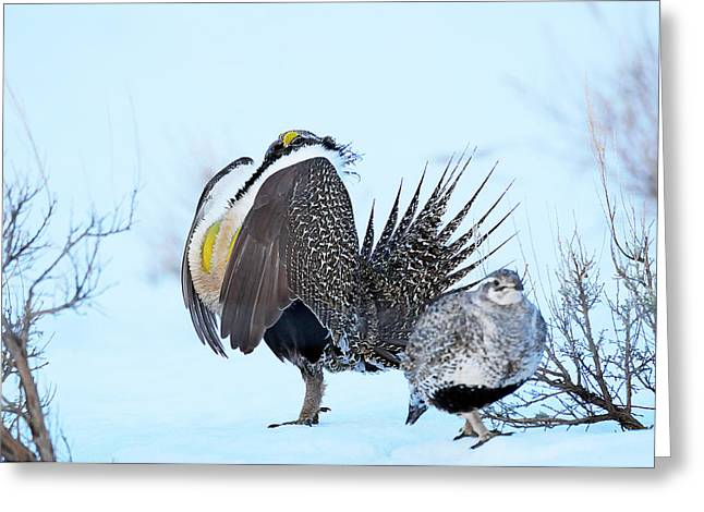 Sage Grouse Greeting Card by Dennis Hammer