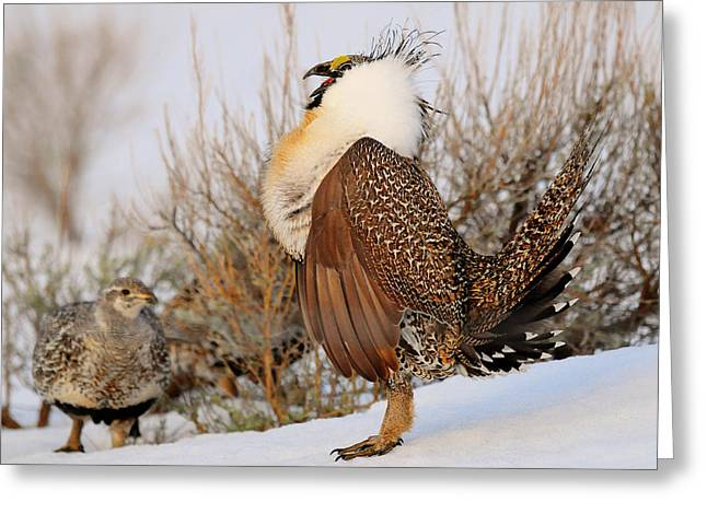 Sage Grouse Strut Greeting Card by Dennis Hammer
