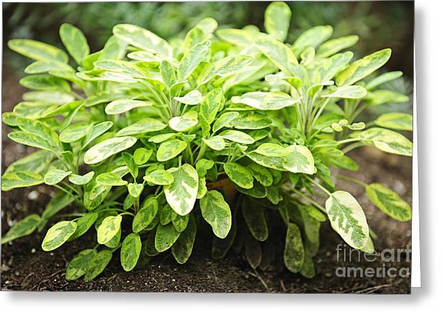Sage Plant Greeting Card