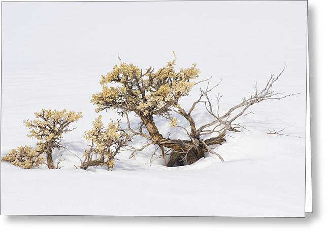 Sagebrush Bonsai In Snow Greeting Card by Shelley Dennis