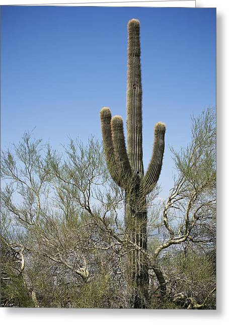 Saguaro 8 Greeting Card by Kelley King
