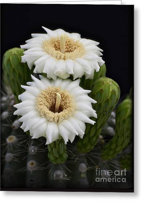 Saguaro Blooms II Greeting Card by Saija  Lehtonen