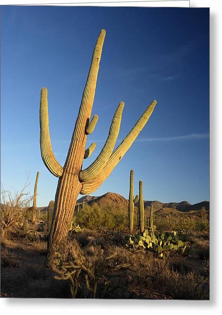 Saguaro Greeting Card by Eric Foltz