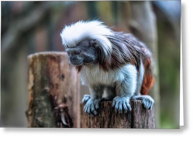 Greeting Card featuring the photograph Saguinus Oedipus  by Traven Milovich