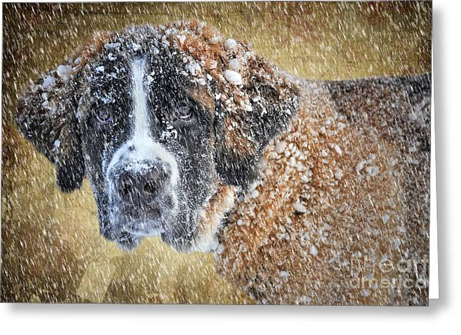 Saint Bernard Greeting Card by Nichola Denny