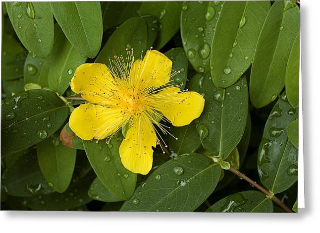 Saint Johns Wort Flower And Foliage Greeting Card by Todd Gipstein