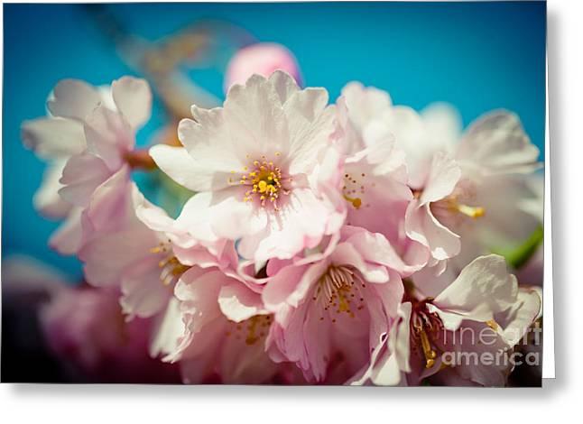 Sakura Blossoms Closeup Pink Cherry Artmif.lv Greeting Card by Raimond Klavins