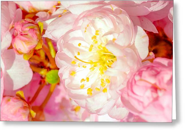 Greeting Card featuring the photograph Sakura Cherry Flower - Wedding Of Nature by Alexander Senin