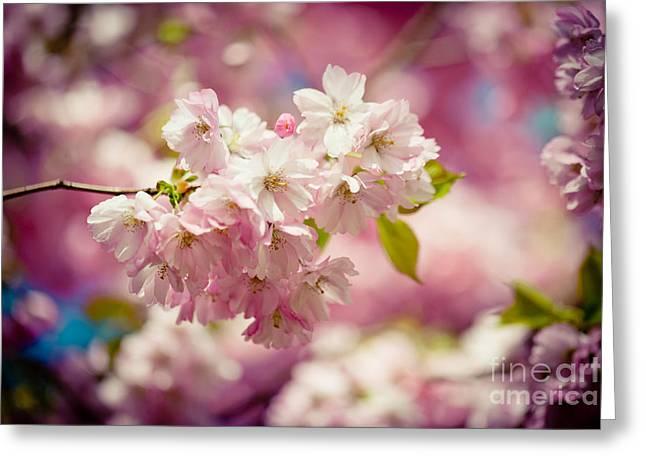 Sakura Pink Cherry Blossoms  Greeting Card by Raimond Klavins