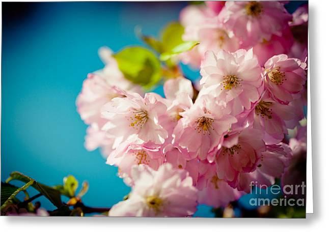 Sakura Spring Pink Cherry Blossoms  Greeting Card by Raimond Klavins