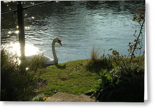 Salisbury Swan Greeting Card by Jonathan Kotinek