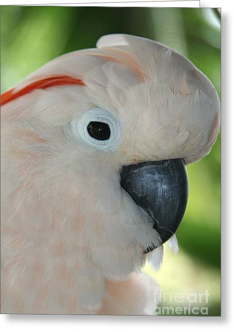 Salmon Crested Moluccan Cockatoo Greeting Card by Sharon Mau