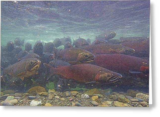 Salmon School Is In Session- Abstract Greeting Card