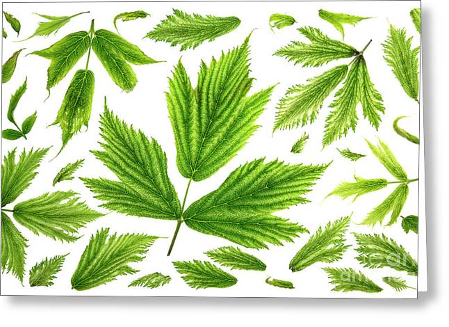 Salmonberry Leaves Greeting Card