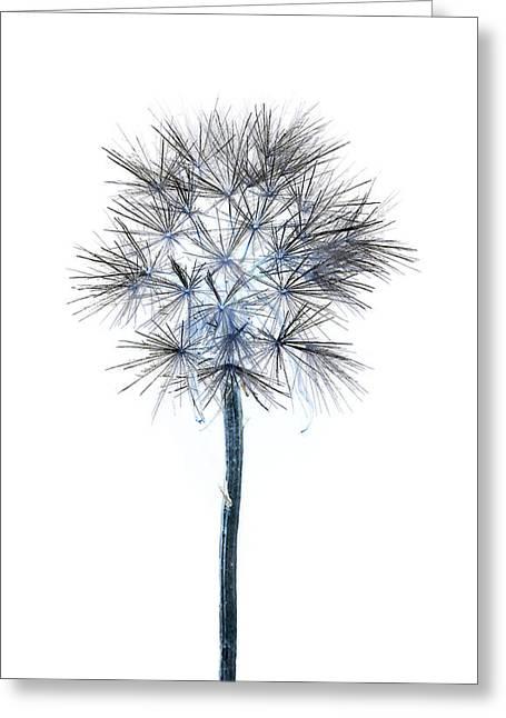 Salsify Seed Head Greeting Card by Gareth Davies