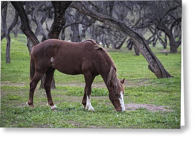 Salt River Stallion Grazes Greeting Card