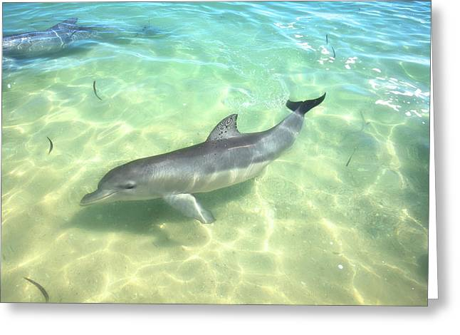Greeting Card featuring the photograph Samu 1 , Monkey Mia, Shark Bay by Dave Catley
