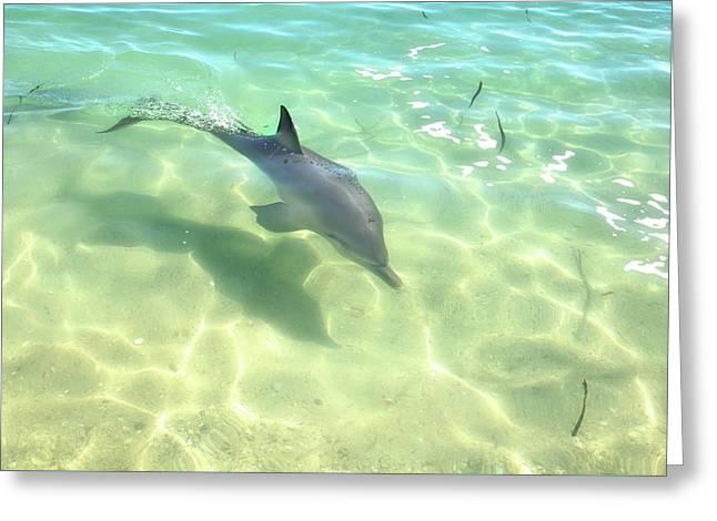 Samu 3 , Monkey Mia, Shark Bay Greeting Card by Dave Catley