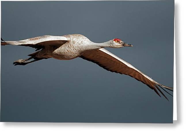Sand Hill Crane On Approach Greeting Card by Gary Langley