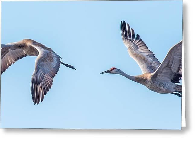 Sand Hill Cranes Flying Greeting Card by Paul Freidlund