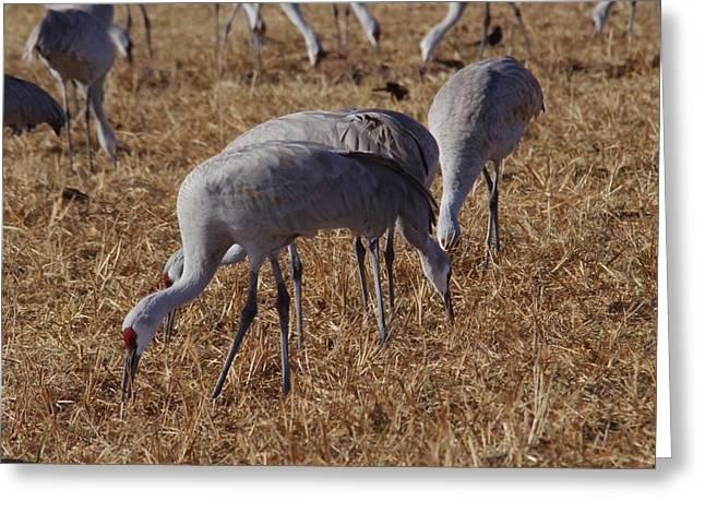 Sand Hill Cranes Greeting Card by Jeff Swan