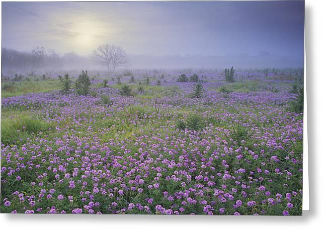 Sand Verbena Flower Field At Sunrise Greeting Card by Tim Fitzharris