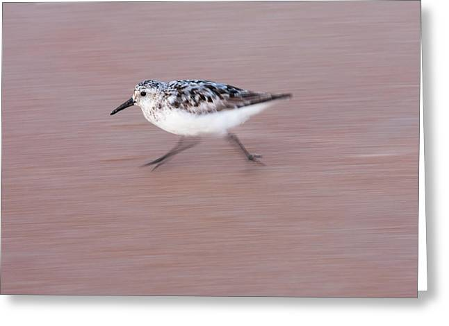Sanderling On The Run Greeting Card