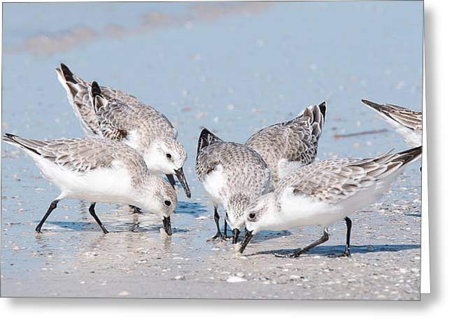 Sanderlings Greeting Card by Nature and Wildlife Photography